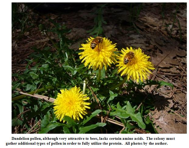 Dandelion pollen