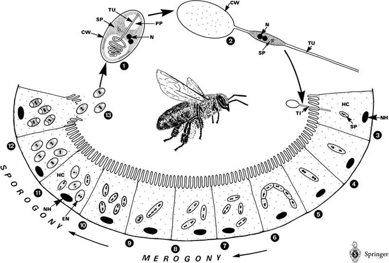 Life cycle of Nosema apis