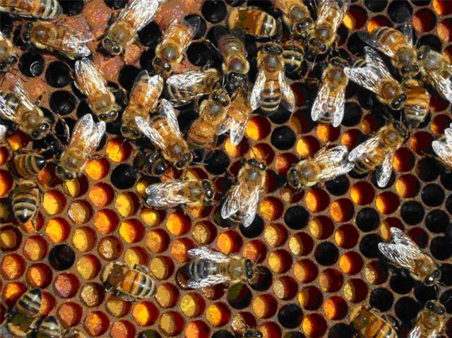 Bees eating pollen