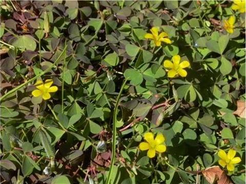 Common Oxalis sp.