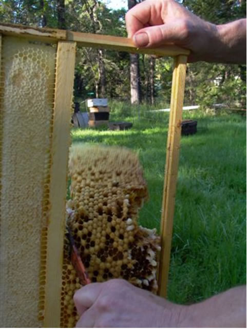 Cutting out the drone comb with a hive tool